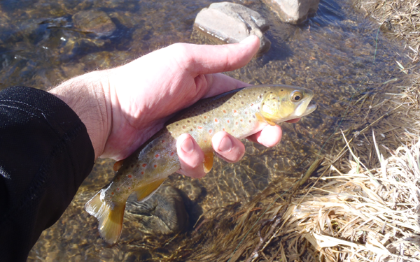 Tenkara Brown Trout