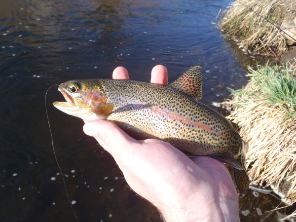 Bear Creek Rainbow on Tenkara