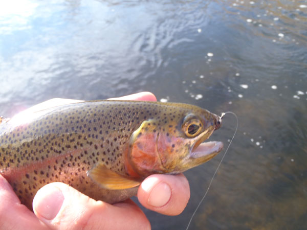 Bear Creek Rainbow on a Sakasa Kebari