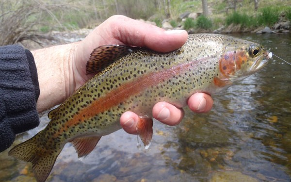 Tenkara on the Big Thompson