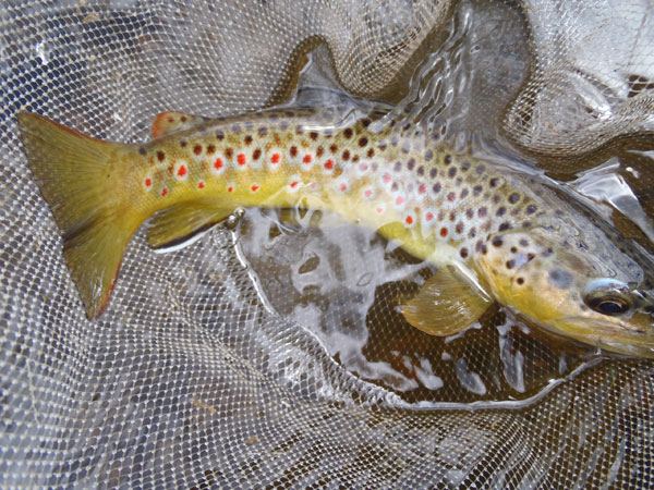 Big Thompson brown trout
