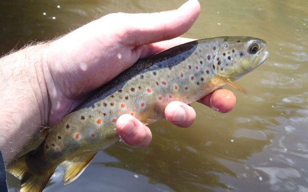 Brown Trout on Sakasa Kebari