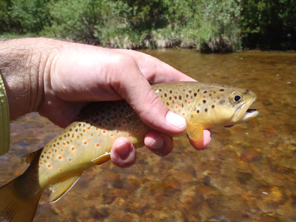 Fall River Brown Trout 3