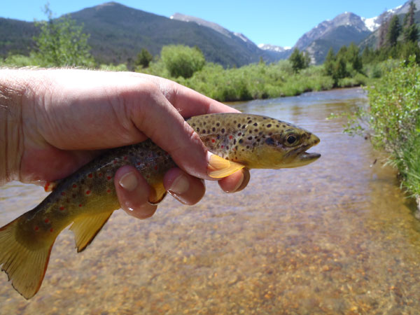 Fall River Brown Trout