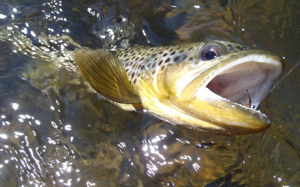 Clear Creek Brown Trout on a Sakasa Kebari