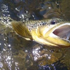 Tenkara on Clear Creek