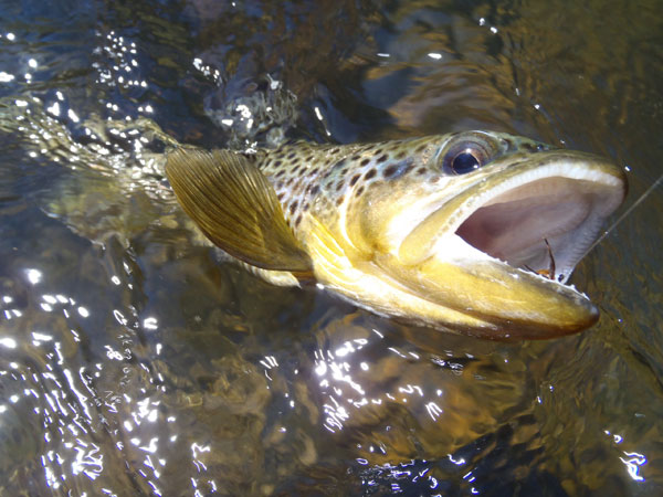 Clear Creek Brown Trout on a Sakasa Kebari