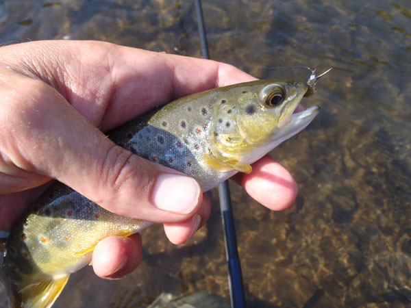 Clear Creek Brown Trout