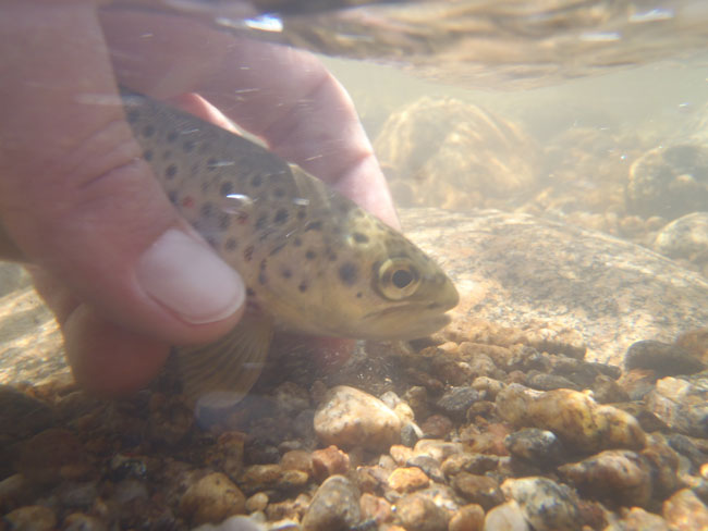 Brown trout being released underwater