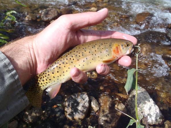 A Roaring River Cutthroat Trout