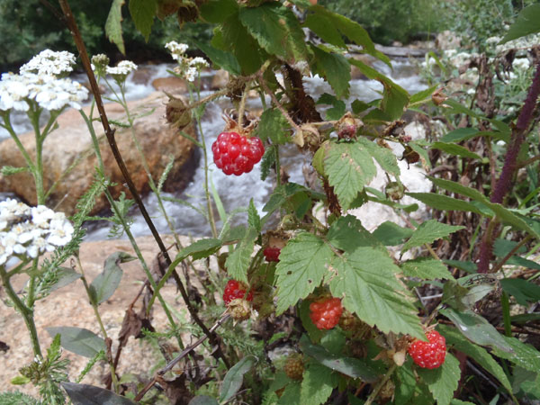 Rasberries on the stream