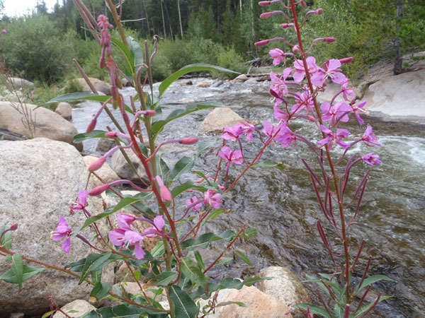 Streamside Flowers