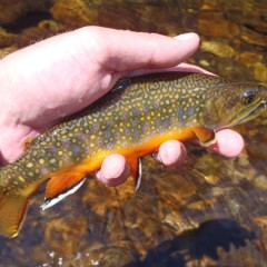 Brook Trout Madness on North Inlet Creek