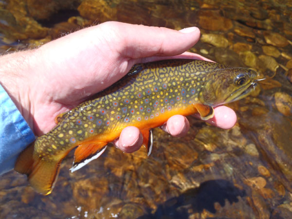 Tenkara Caught Brook Trout