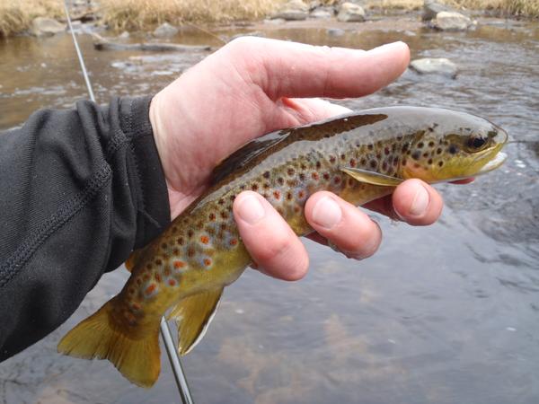 Bear Creek Brown Trout