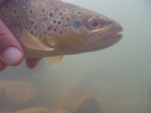 Clear Creek Brown Trout Underwater