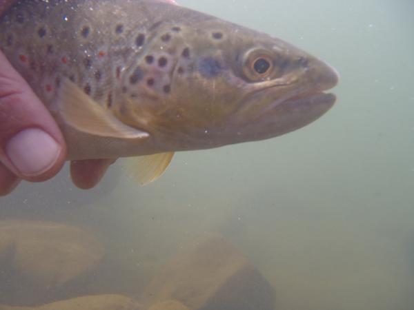 Clear Creek Brown Trout Underwater