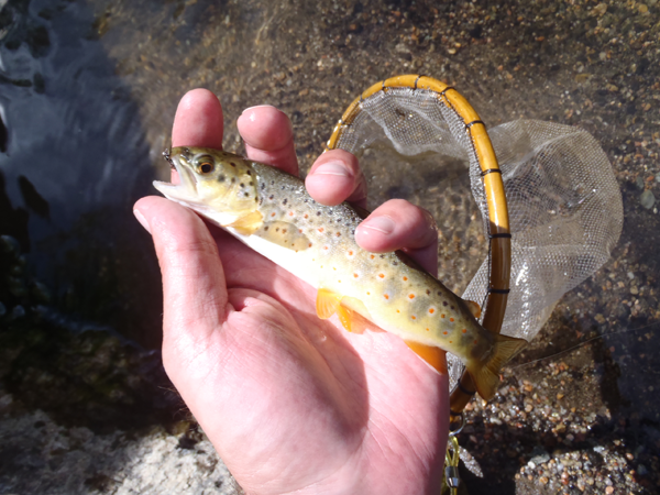 Small Boulder Creek Brown Trout