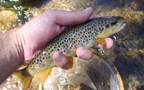 Boulder Creek Brown Trout