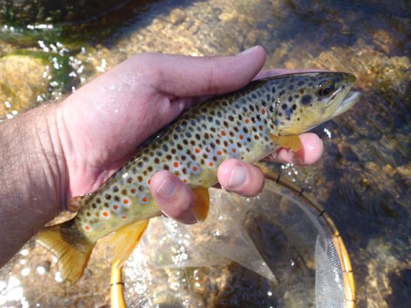 Boulder Creek Brown Trout