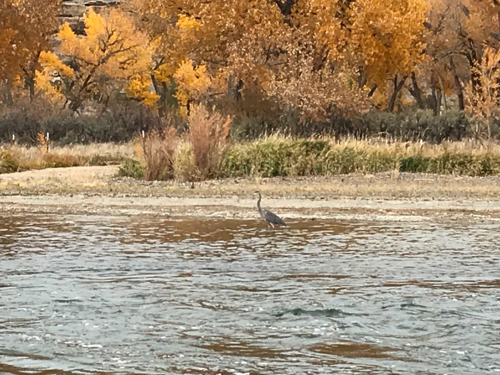 Heron on the San Juan River