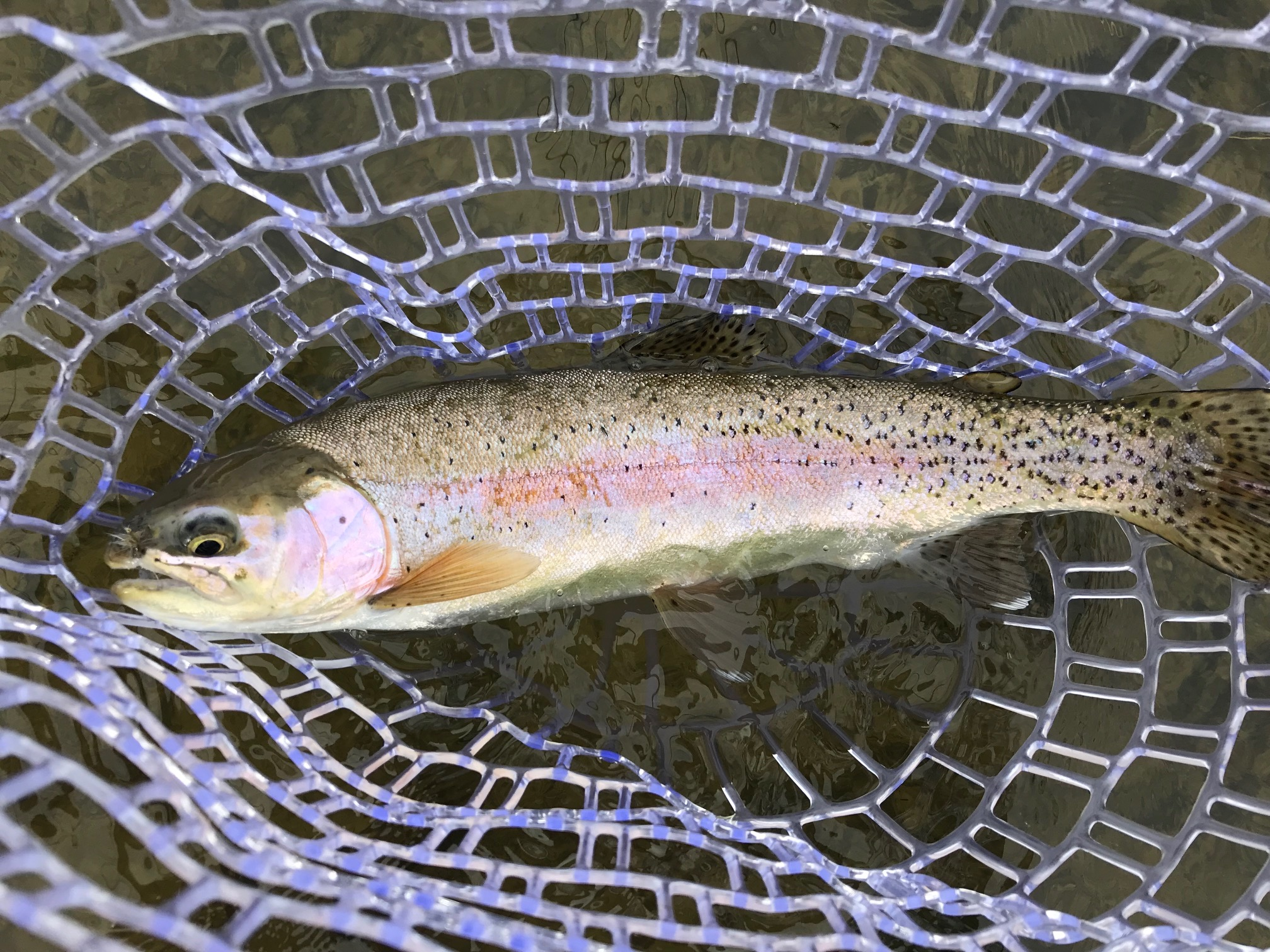 San Juan River Rainbow Trout