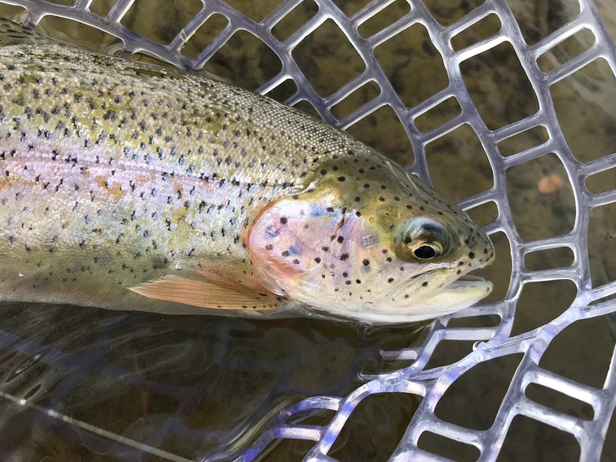Rainbow Trout - San Juan River
